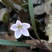 First Flower Of Spring Art Print