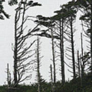 First Line Trees Along The Pacific Ocean Art Print