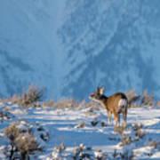 First Rut Mule Deer Buck Art Print