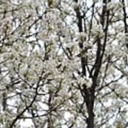 First Spring Blossom Art Print