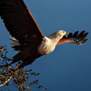 Fish Eagle Taking Flight Art Print