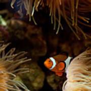 Fish In Sea Anemones Aquarium Art Print