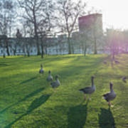 Five Ducks Walking In Line At Sunset With London Museum In The B Art Print