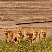 Five Fox Kits By Old Saskatchewan Granary Art Print