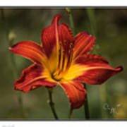 Flaming Lily Art Print