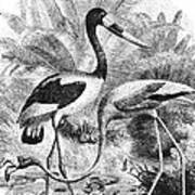 Flamingo & Jabiru Art Print
