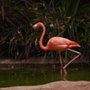 Flamingo 1 San Diego Zoo Art Print