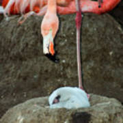 Flamingo And Chick Art Print
