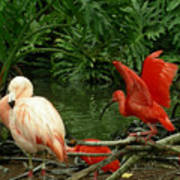 Flamingo And Scarlet Ibis Art Print