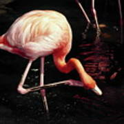 Flamingo Scratching Head Art Print