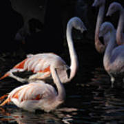 Flamingo Study - 2 Art Print