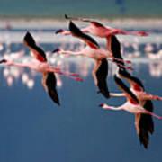 Flamingos In Flight-signed Art Print