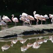 Flamingos With Reflection Art Print