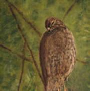 Fledged Red-shouldered Hawk Art Print