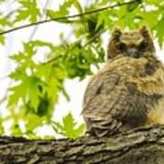 Fledgling Great Horned Owl Art Print