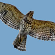 Flight Of The Red Shouldered Hawk Art Print