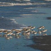 Flock Of Sanderlings Art Print