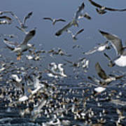 Flock Of Seagulls In The Sea And In Flight Print by Sami Sarkis