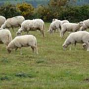 Flock Of Sheeps Art Print