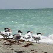 Flock Of Terns Gp Art Print