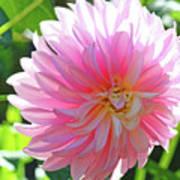 Floral Art Prints Pink Dahlias Sunlit Baslee Troutman Art Print