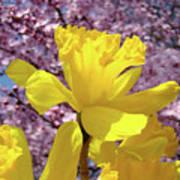 Floral Fine Art Daffodils Art Prints Spring Flowers Sunlit Baslee Troutman Art Print