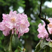 Floral Garden Pink Rhododendron Flowers Baslee Troutman Art Print
