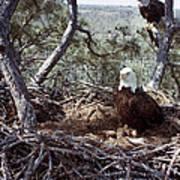 Florida: Bald Eagles, 1983 Art Print