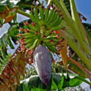 Florida Banana Flower And Fruit Art Print