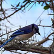 Florida Blue Jay Art Print