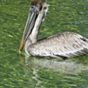 Florida Brown Pelican Art Print