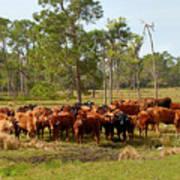 Florida Cracker Cows #1 Art Print