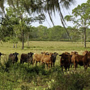 Florida Cracker Cows #3 Art Print