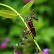 Florida Leaf-footed Bug Art Print