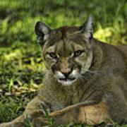 Florida Panther Agitated Art Print