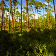 Florida Pine Forest Art Print