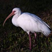 Florida White Ibis  Eudocimus Alba Art Print