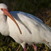 Florida White Ibis  Eudocimus Albus Art Print