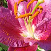 Flower Art Prints Pink Orange Lily Flower Giclee Baslee Troutman Art Print
