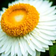 Flower Blossom 3 Art Print