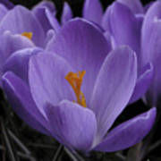 Flower Crocus Art Print