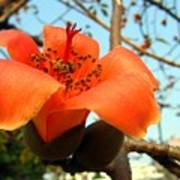 Flower Of The Red Silk Cotton Tree  Art Print