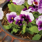 Flower - Pansy - Purple Pansies Art Print