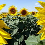 Flower Sunflower,yellow Flower, Art Print