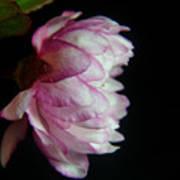 Flowering Almond 2011-11a Art Print