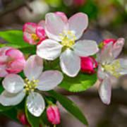 Flowering Cherry Tree Blossoms Art Print