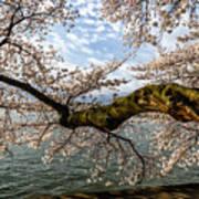 Flowering Cherry Tree Art Print