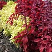 Flowering Coleus Art Print