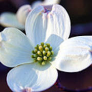 Flowering Dogwood Art Print