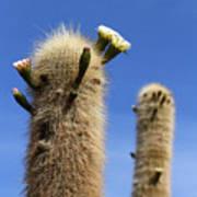 Flowering Echinopsis Atacamensis Cactus Bolivia Art Print
